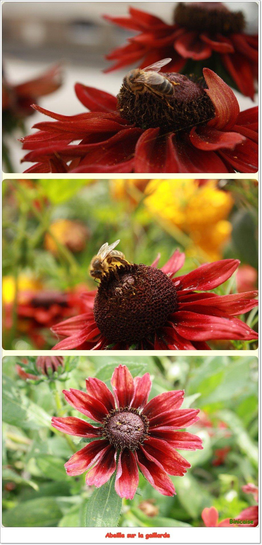 Gaillarde. dans Fleurs et plantes Gaillarde