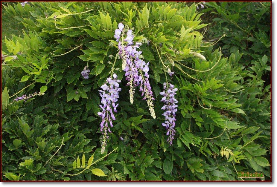 Wisteria floribunda ou glycine dans Fleurs et plantes Glycine