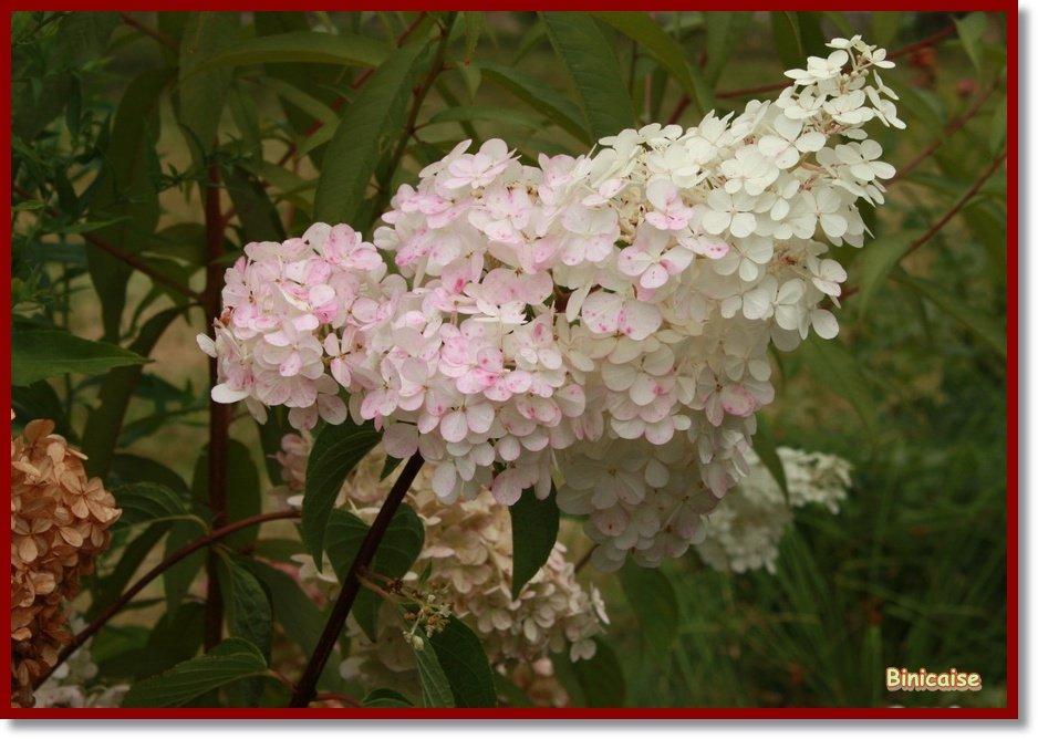 Hydrangea. dans Fleurs et plantes Hydrangea