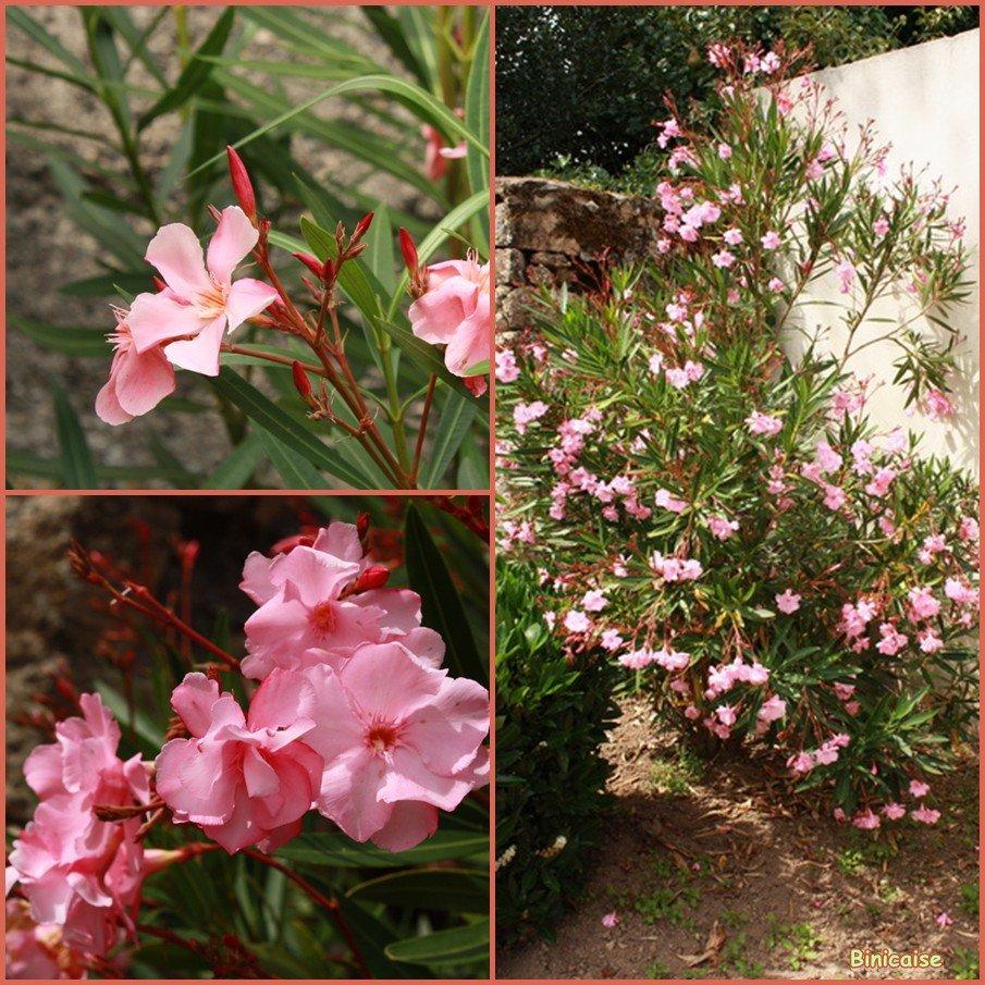 Laurier rose . dans Fleurs et plantes Laurier-rose-Auray