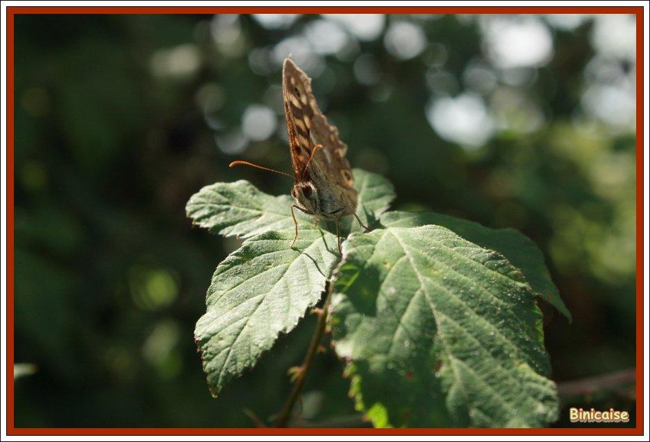 Le papillon. dans Animaux Papillon-01
