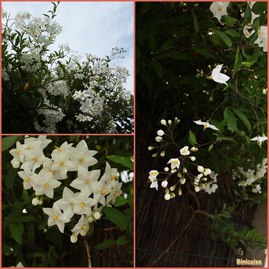 Plumbago sur un mur. dans Fleurs et plantes Plumbago-blanc