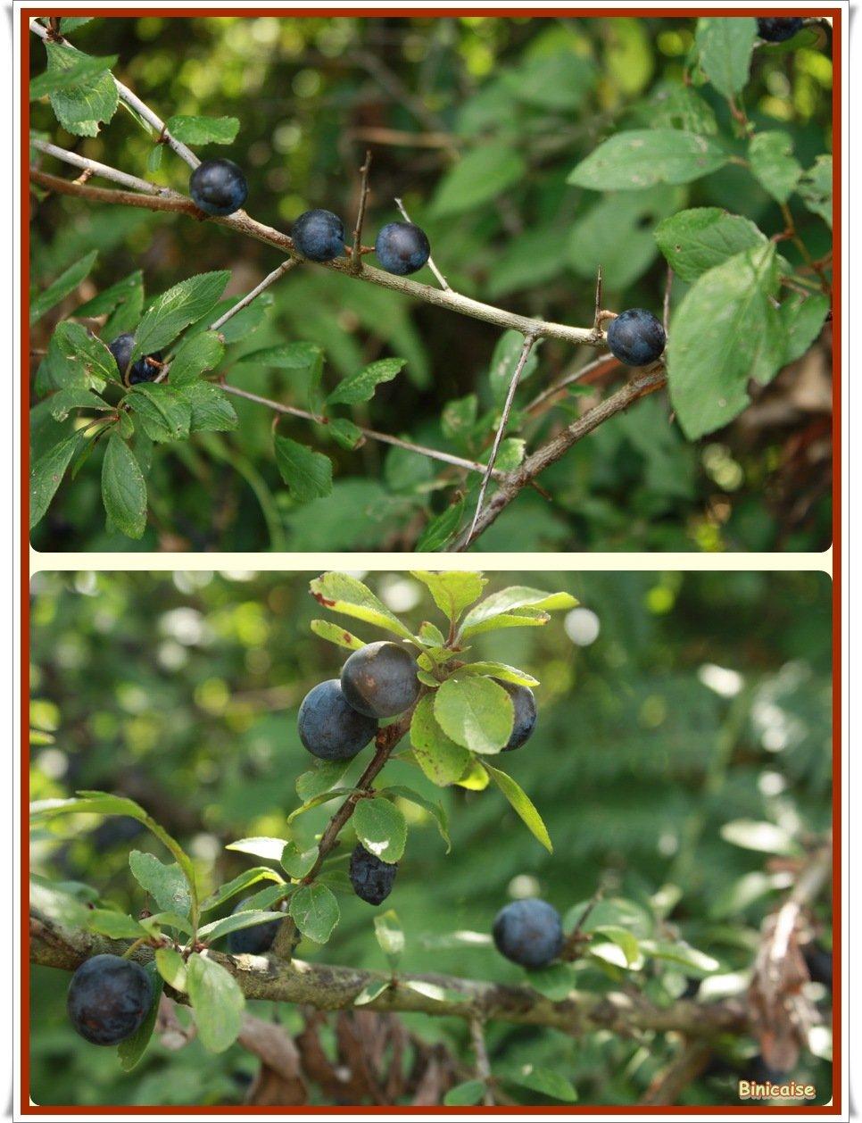 Prunelles. dans Fleurs et plantes Prunelles