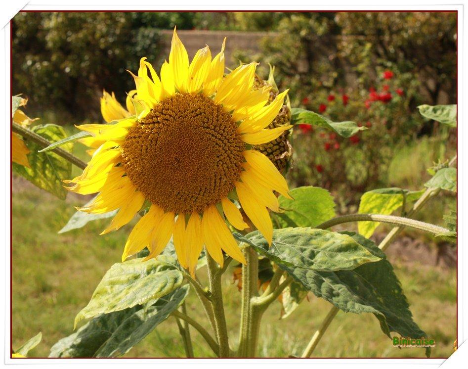 Au hasard d'une promenade. dans Fleurs et plantes Tournesol