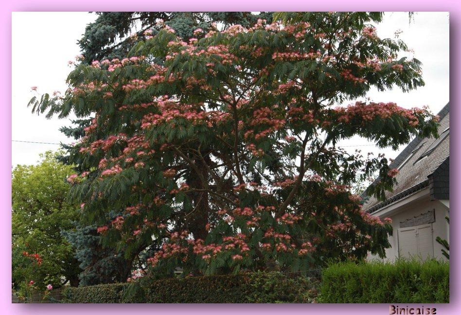Binicaise albizia ou arbre soie - Arbre ver a soie ...