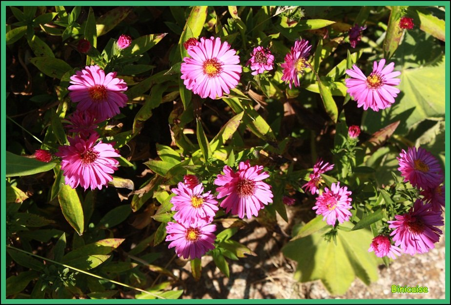 Asters . dans Jardin binicaise Asters-2012