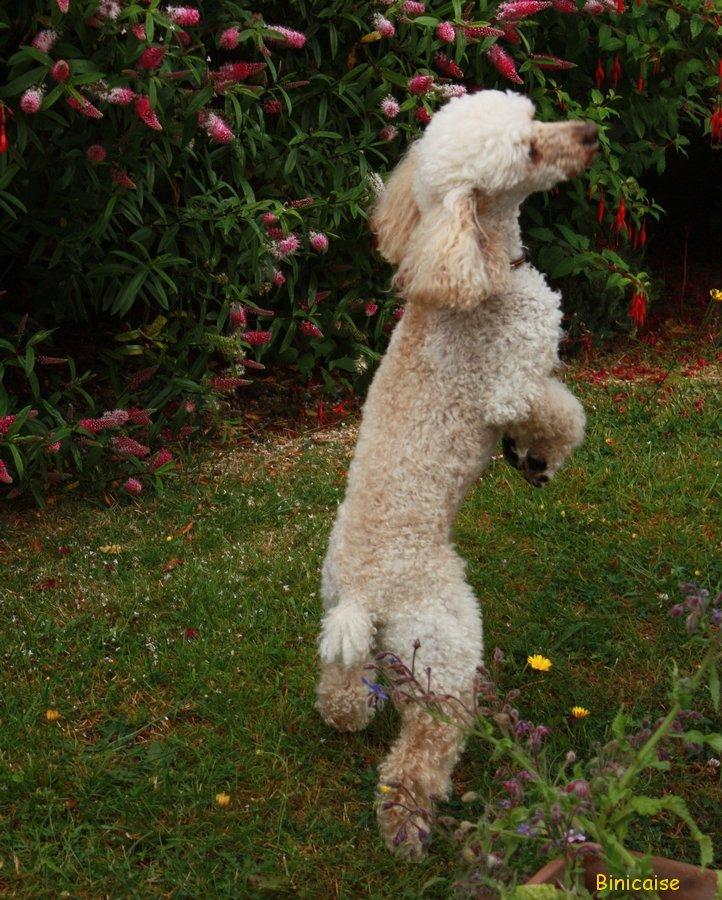 Un chien dans le jardin. dans Animaux Caniche