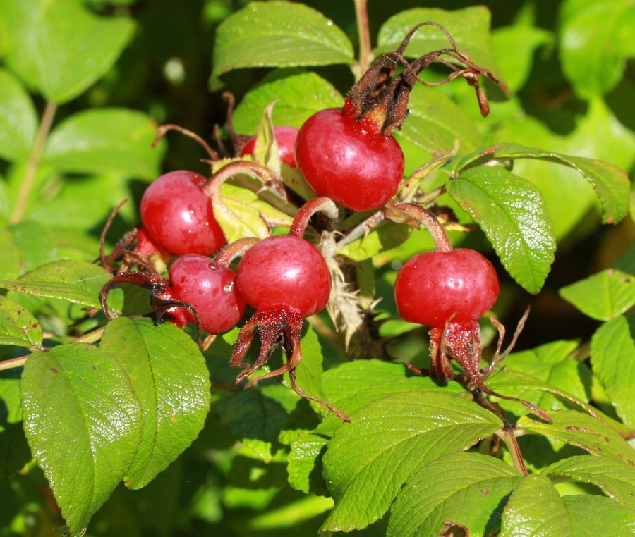 Fruits-rosier-rugosa Fruits d'automne dans Photos