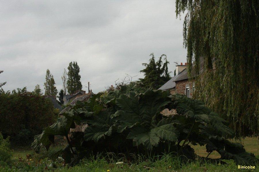 Plantes géantes. dans Fleurs et plantes IMG_6439_redimensionner