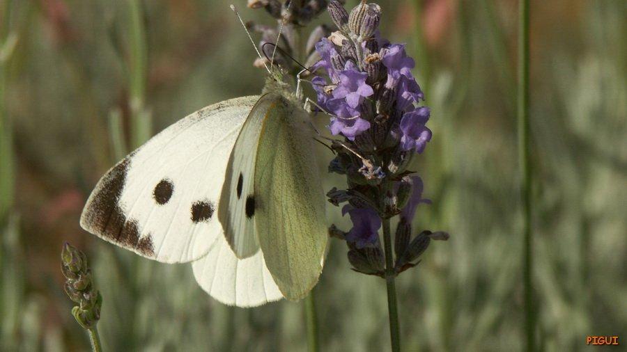 Piéride du chou. dans Animaux Papillon-02r_redimensionner