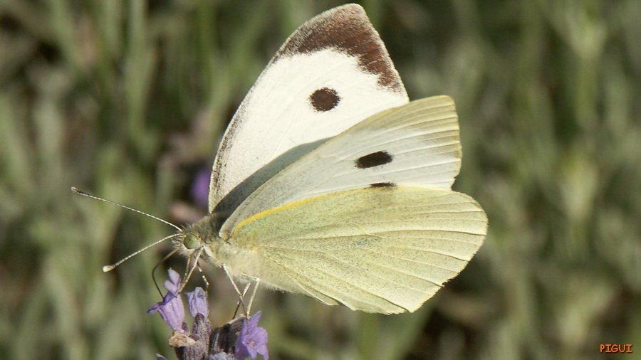 Papillon_redimensionner Pieride du chou dans Photos