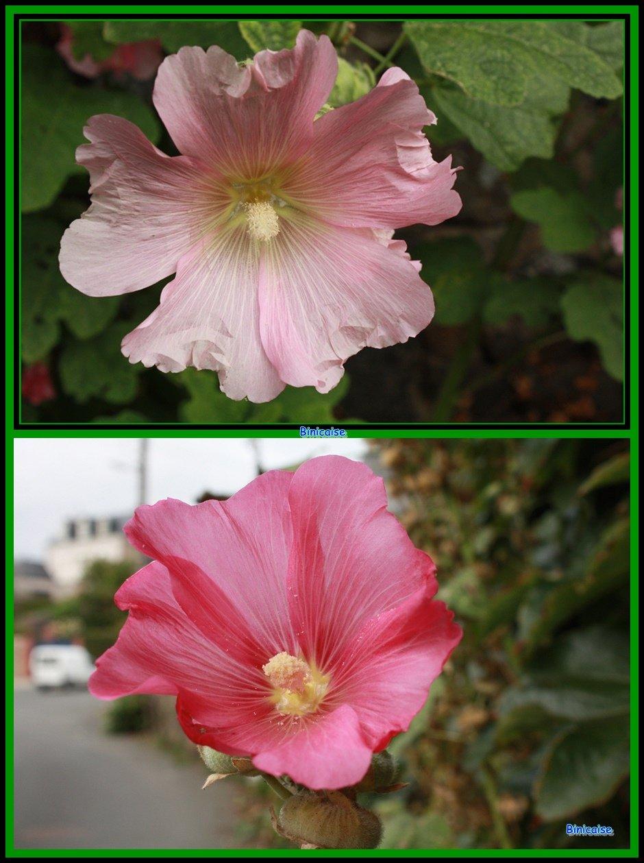 Passeroses. dans Fleurs et plantes Passeroses-03