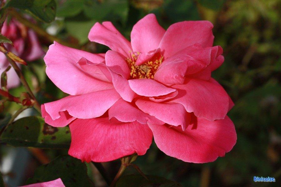 Roses-Bis