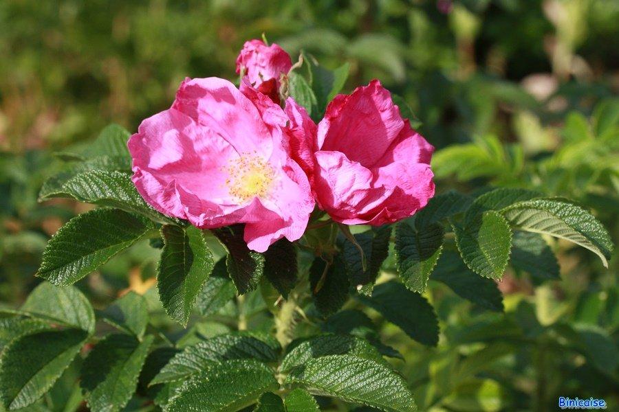 Roses Roses dans Photos