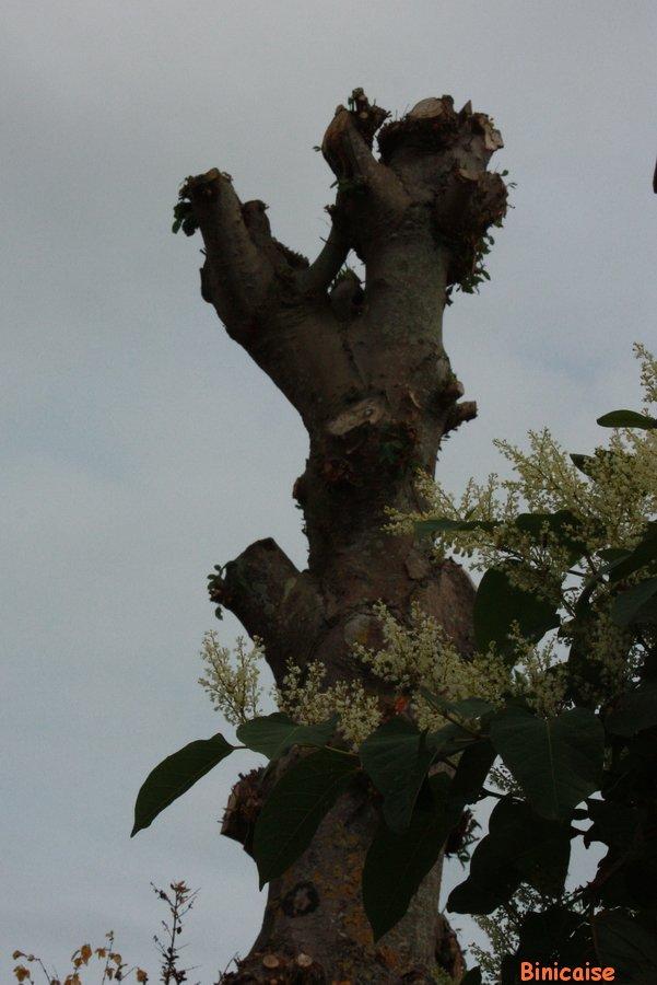 Quand l'élagage devient sculpture. dans Fleurs et plantes Tronc