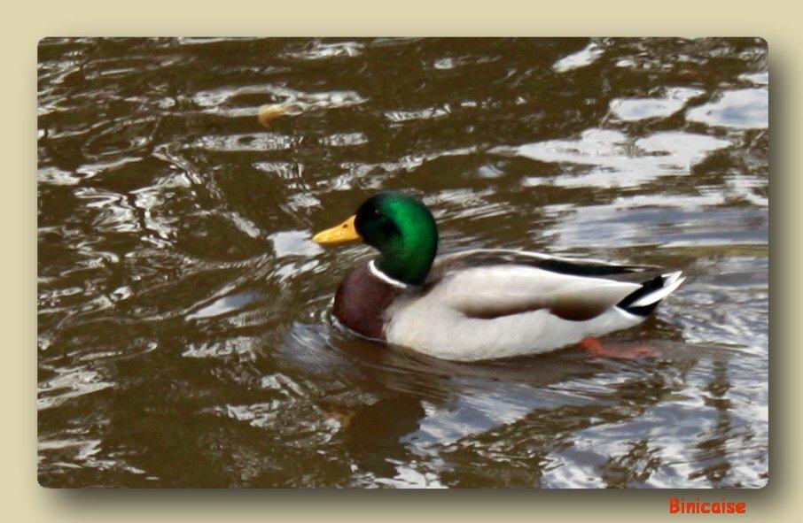 Le colvert du lac. dans Animaux canard-