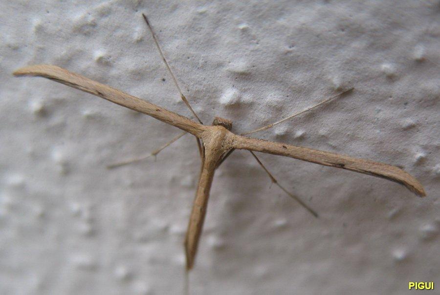 emmelina-monodactyla-07b Insectes dans Photos