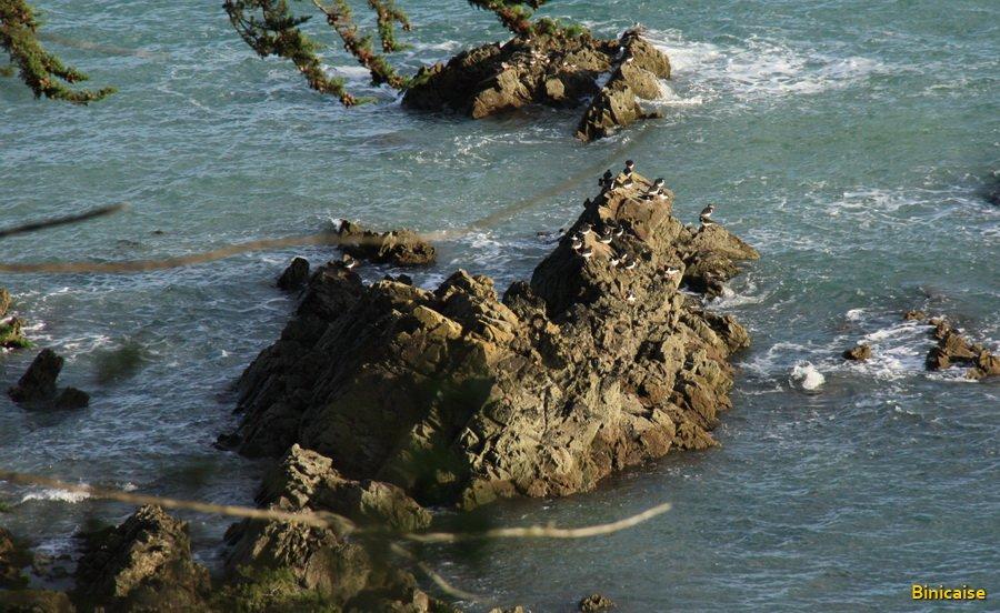 Huitriers pie en vacances à Binic. dans Bretagne 900_7622