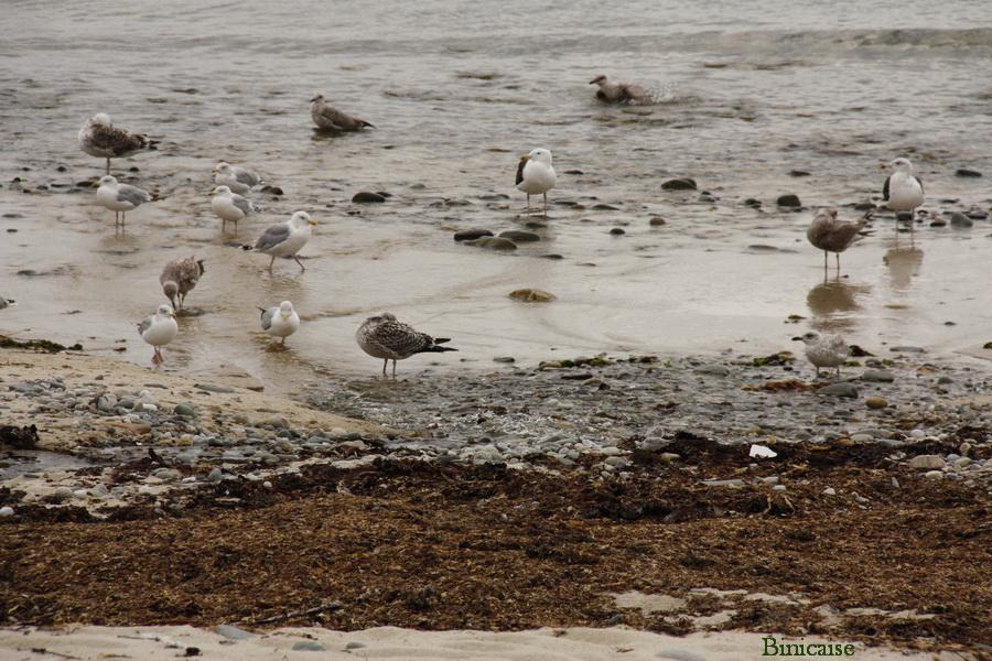 Oiseaux de mer . dans Bretagne finistere-01