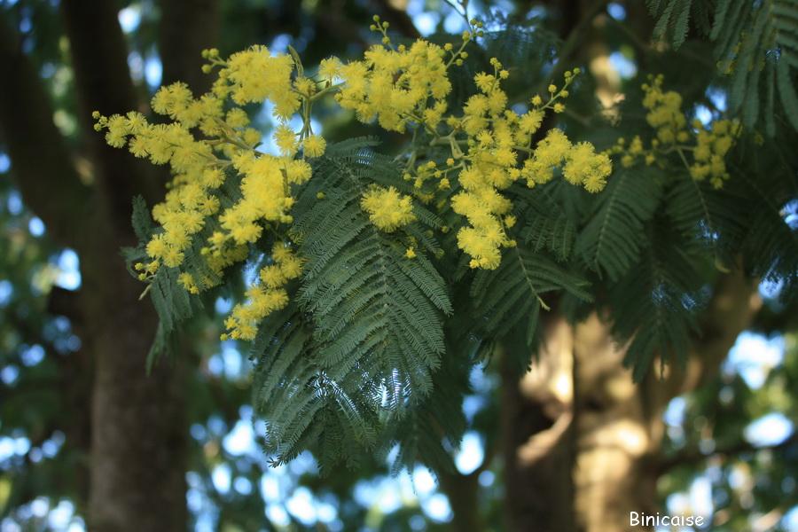 Premier brin de mimosas . dans Jardin binicaise mimosas-binic