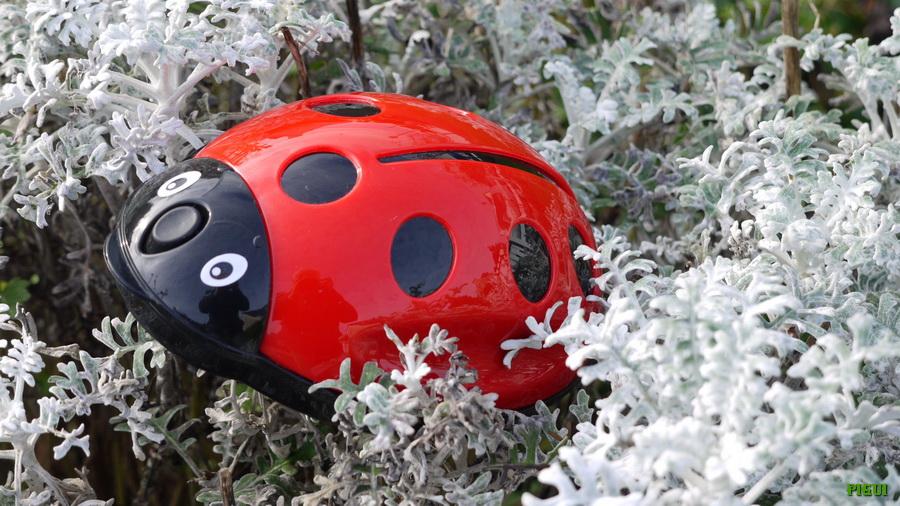 Dame coccinelle dans le jardin. dans Mon Blog p1000964_redimensionner