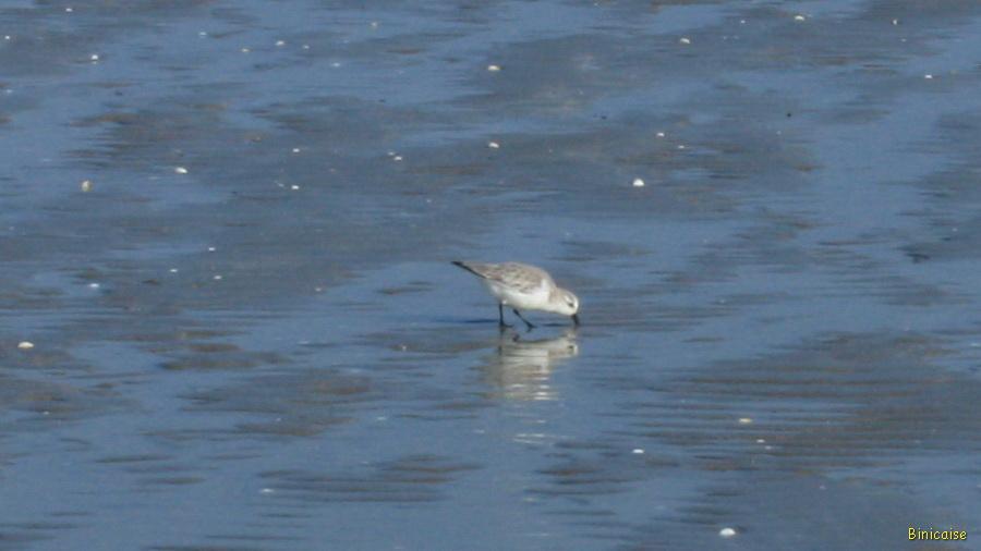 Petit oiseau migrateur sur la plage. dans Bretagne la-banche-2013-01