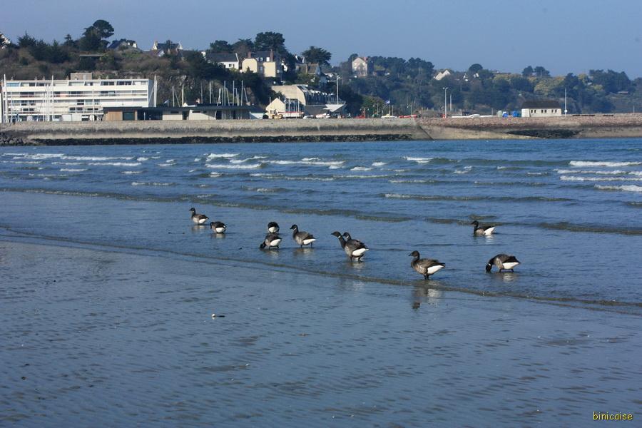 Vacances en Bretagne pour les bernaches cravant. dans Bretagne la-banche-2013-07