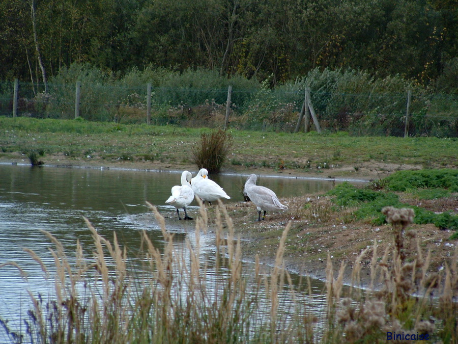 les-oies-du-marquenterre-2005 Baie de Somme dans Picardie