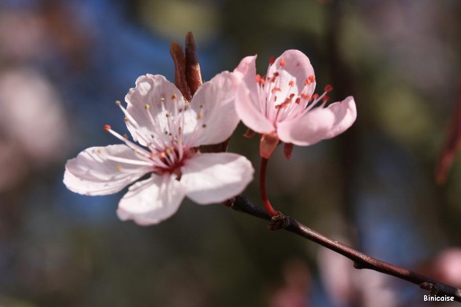 Prunus en fleurs. dans Jardin binicaise prunus-01