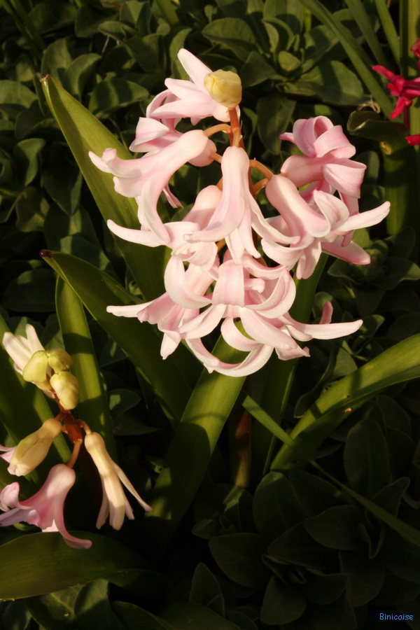 Les jacinthes dans Jardin binicaise img_8183_redimensionner