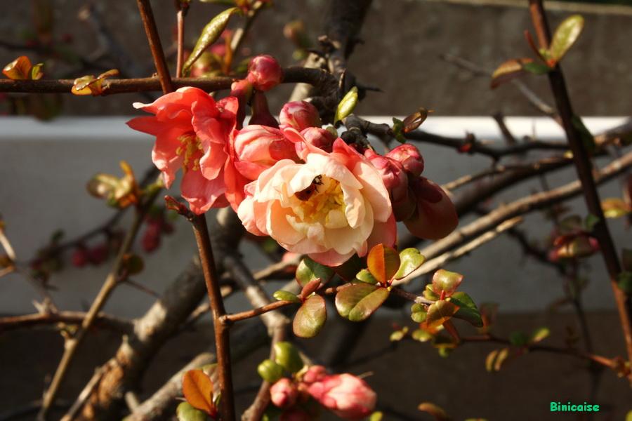 Cognassier du Japon. dans Jardin binicaise img_8187-900
