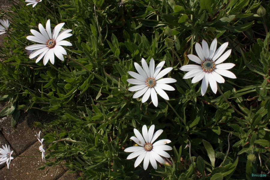Mes éternels osteopernums. dans Jardin binicaise img_8199_redimensionner