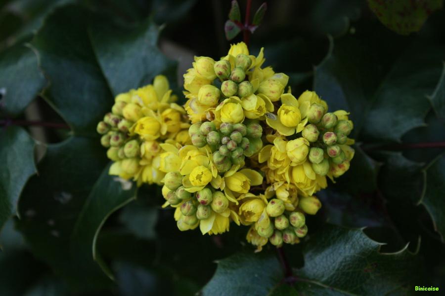 Mahonia en fleurs. dans Jardin binicaise img_8212_redimensionner