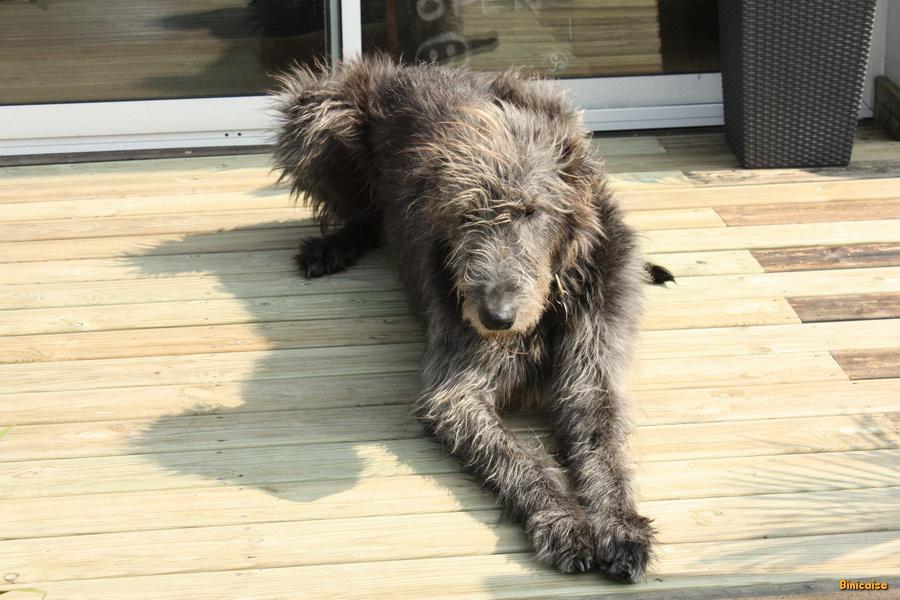 Irish Wolfhound ou lévrier irlandais. dans Animaux img_8267_redimensionner