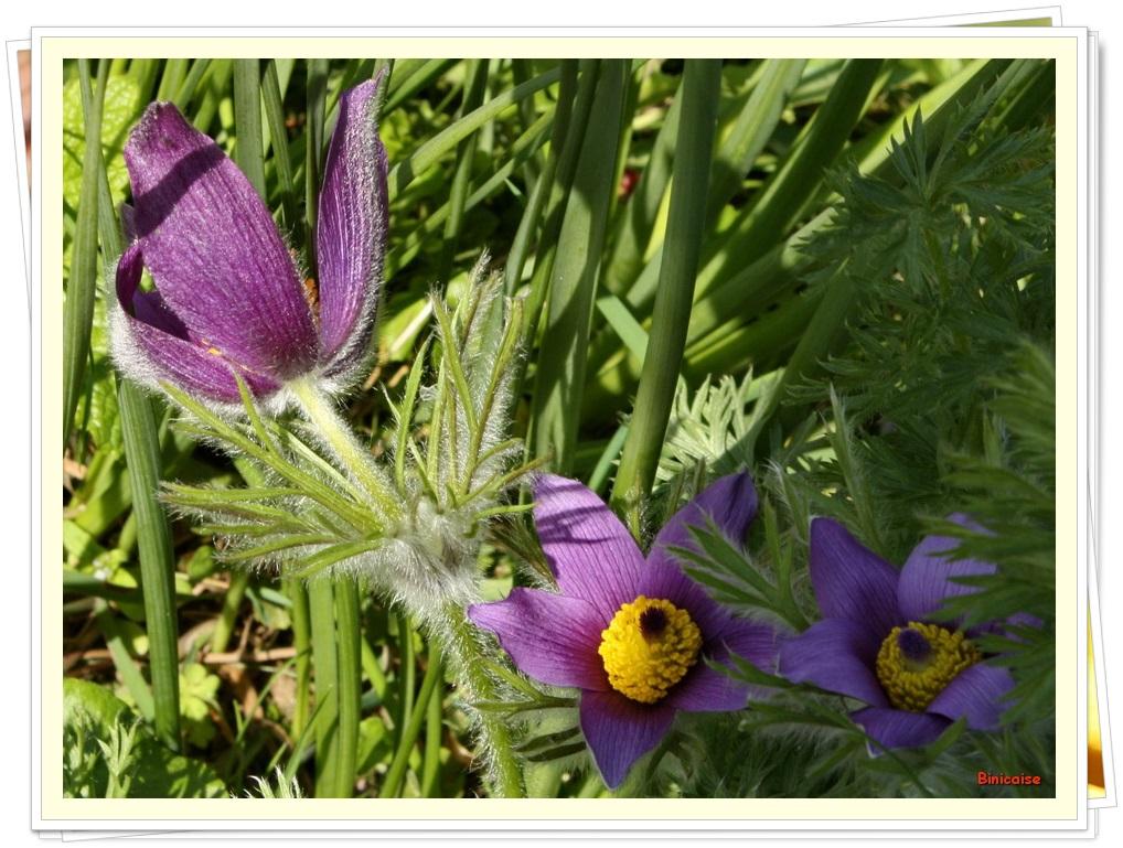 Anémones pulsatilles. dans Jardin binicaise anemones-pulsatilles
