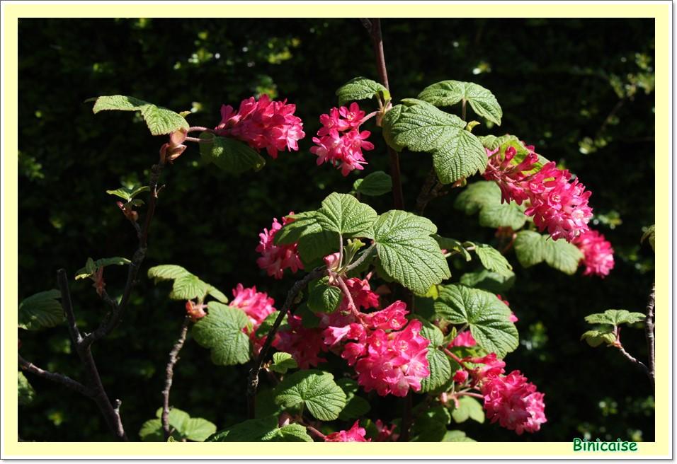 Groseillier sanguin. dans Jardin binicaise groseiller-a-fleurs