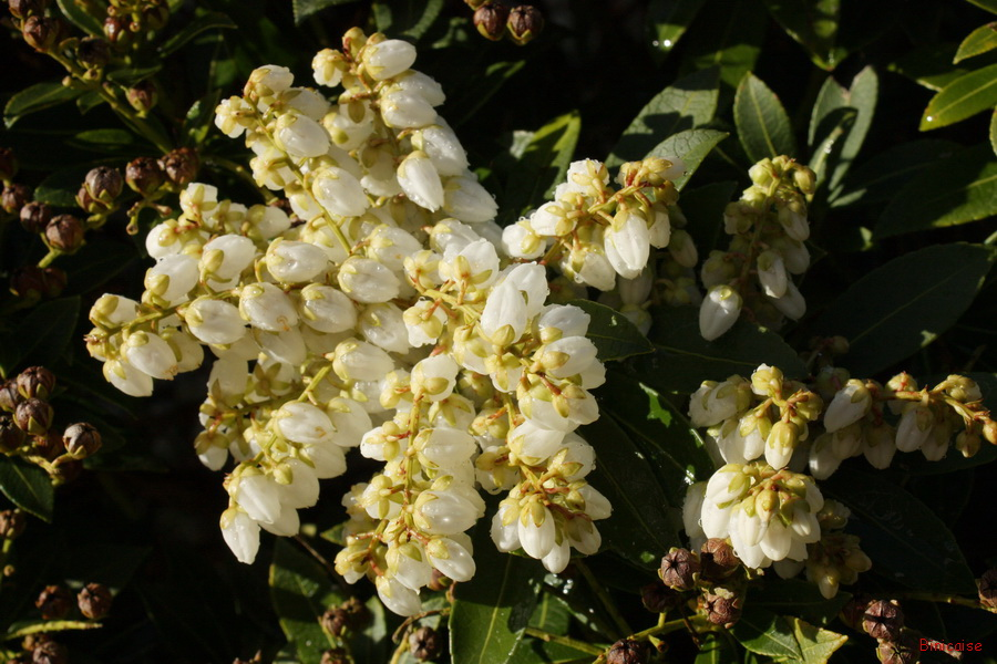 Fleurs du pieris. dans Mon Blog img_8328_redimensionner