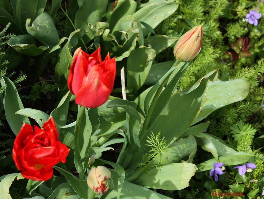 Rouge comme les tulipes. dans Jardin binicaise tulipes-rouges