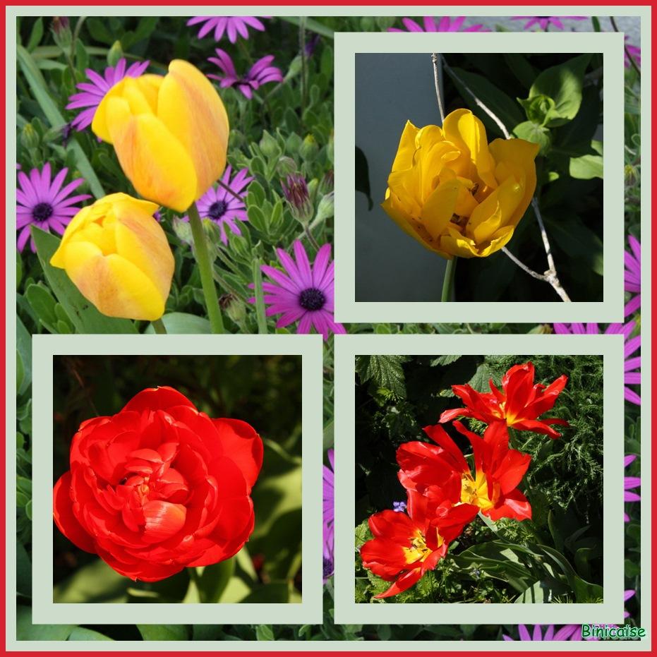 Tulipes variées. dans Jardin binicaise tulipes