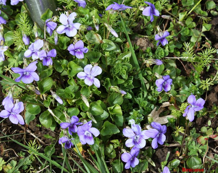 La saison des violettes. dans Jardin binicaise violettes