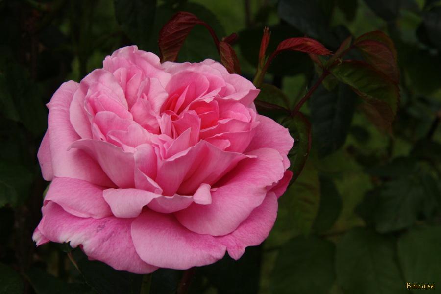 Rose anglaise. dans Jardin binicaise 13-05-22-fleurs-01
