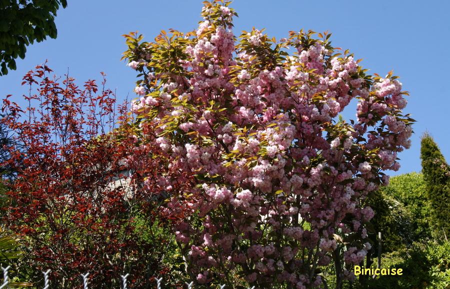 Arbustes fleuris. dans Jardins et maisons arbustes-fleuris