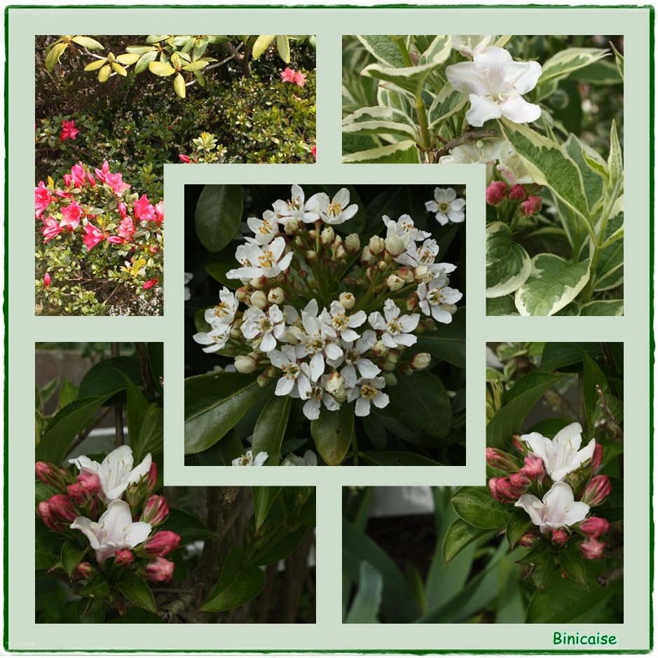 Arbustes printaniers. dans Jardin binicaise arbustes-printaniers