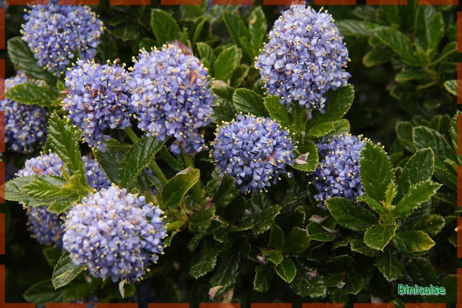 Ceanothe en fleurs. dans Jardin binicaise ceanothe