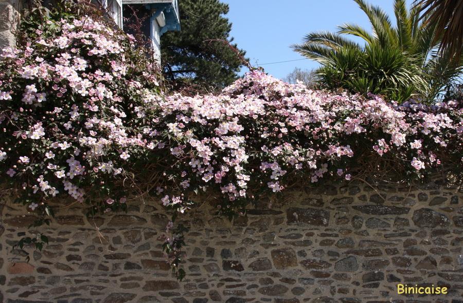Mur décoré. dans Fleurs et plantes clematites
