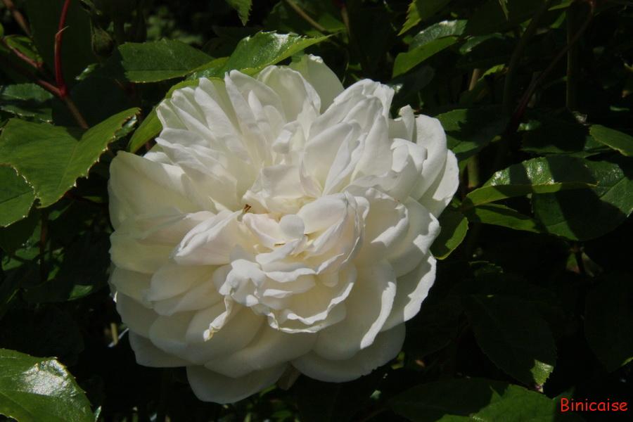 Rose Iceberg. dans Jardin binicaise iceberg01