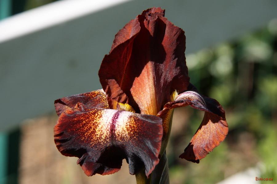 Iris aux couleurs originales . dans Jardin binicaise img_8603_redimensionner
