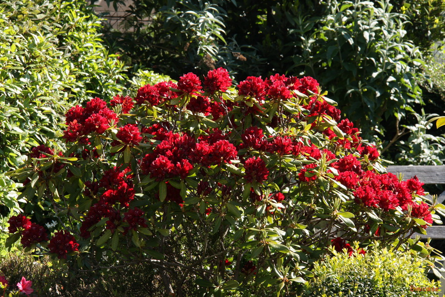 Le rhododendron rouge. dans Jardin binicaise img_8613_redimensionner