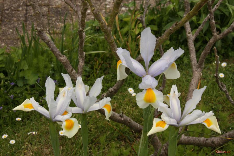 Iris bulbeux. dans Jardin binicaise iris-bulbeux-