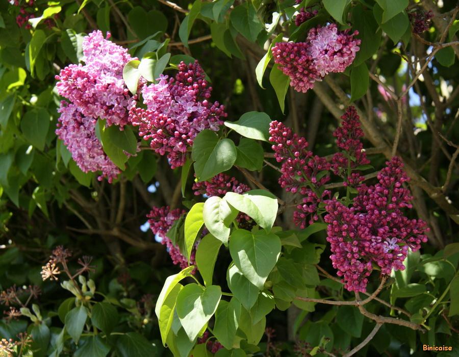 Les lilas . dans Fleurs et plantes lilas-01